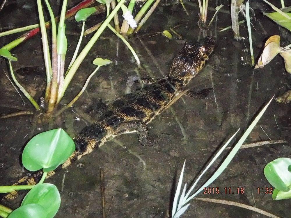 Jen takový malý krokodýl, takže vlastně ještěrka.